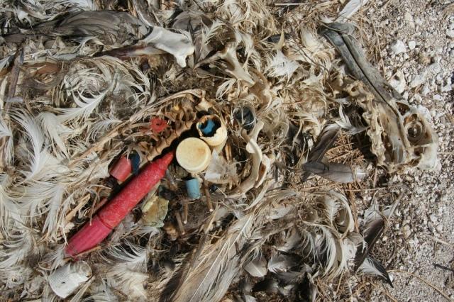 Albatross_chick_plastic